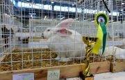 THE MOST BEAUTIFUL RABBITS ON SHOW AT TARGI KIELCE