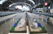 PIGEONS, ORNAMENTAL POULTRY AND RABBITS - VISITORS ARE MORE THAN WELCOME AT TARGI KIELCE
