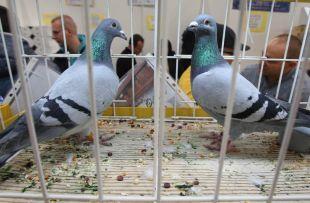 wystawa gołębi pocztowych 2015 - galeria 24
