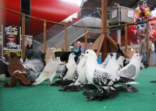 wystawa gołębi rasowych