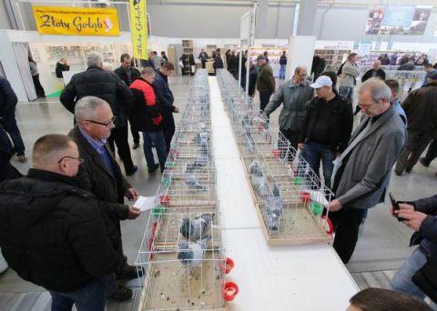 Zeszłoroczne, regionalne wystawy gołębi pocztowych, rasowych i królików w Targach Kielce odwiedziło 2700 zwiedzających