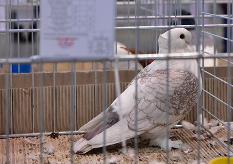 Puchary dla najpiękniejszych gołębi wTargach Kielce