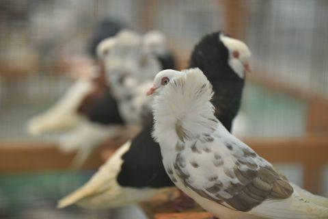 W Targach Kielce podczas Krajowej Wystawy można podziwiać najciekawsze rasy gołębi