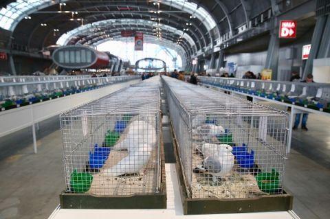 Ponad 4100 najpiękniejszych gołębi rasowych można oglądać  w Targach Kielce do niedzieli