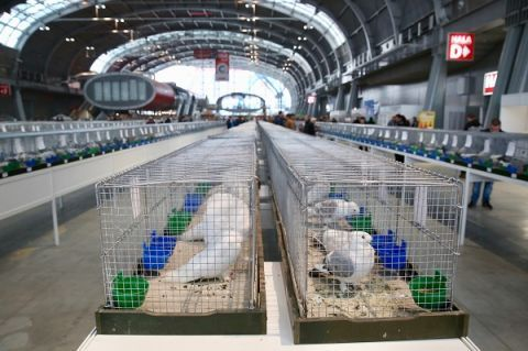 Over 4,100 most beautiful pure-breed pigeons on display in Targi Kielce until Sunday